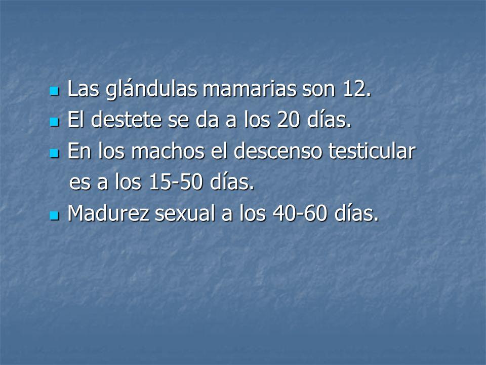 Las glándulas mamarias son 12. Las glándulas mamarias son 12. El destete se da a los 20 días. El destete se da a los 20 días. En los machos el descens