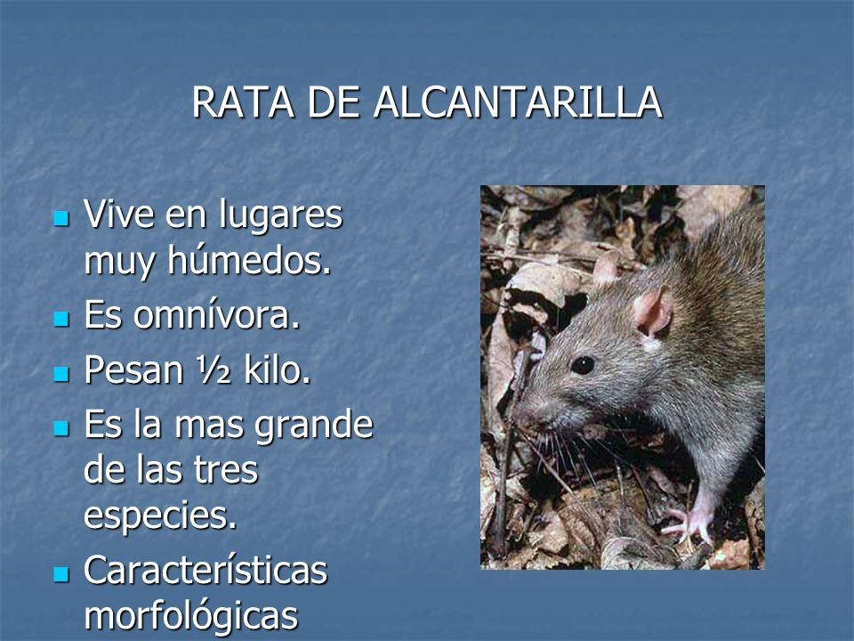 RATA DE ALCANTARILLA Vive en lugares muy húmedos. Vive en lugares muy húmedos. Es omnívora. Es omnívora. Pesan ½ kilo. Pesan ½ kilo. Es la mas grande