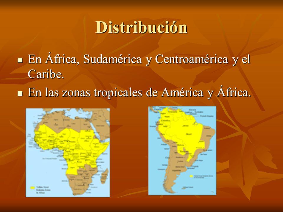Distribución En África, Sudamérica y Centroamérica y el Caribe. En África, Sudamérica y Centroamérica y el Caribe. En las zonas tropicales de América