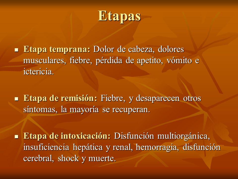 Etapas Etapa temprana: Dolor de cabeza, dolores musculares, fiebre, pérdida de apetito, vómito e ictericia. Etapa temprana: Dolor de cabeza, dolores m