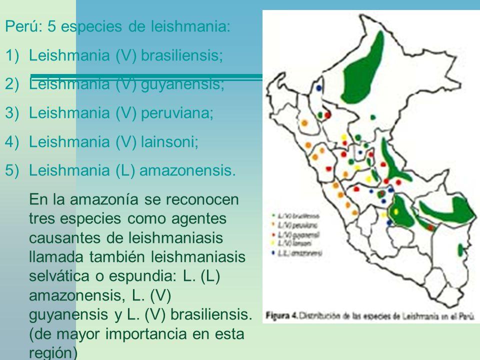 Perú: 5 especies de leishmania: 1)Leishmania (V) brasiliensis; 2)Leishmania (V) guyanensis; 3)Leishmania (V) peruviana; 4)Leishmania (V) lainsoni; 5)L
