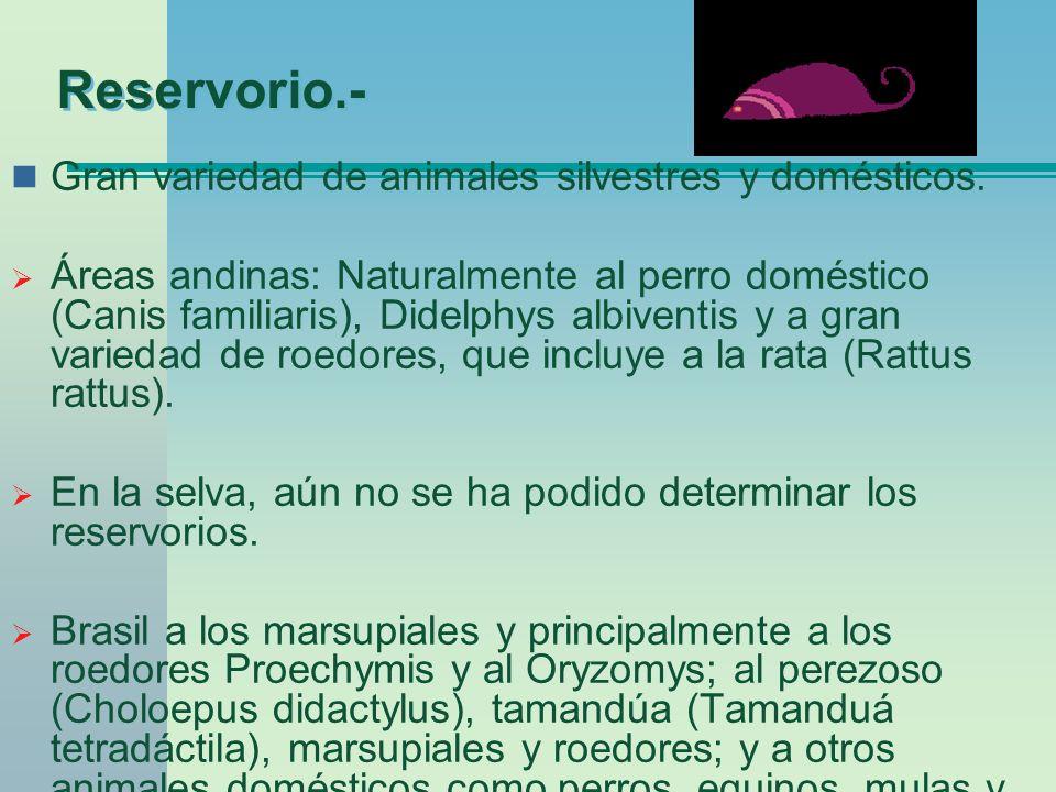 Reservorio.- Gran variedad de animales silvestres y domésticos. Áreas andinas: Naturalmente al perro doméstico (Canis familiaris), Didelphys albiventi