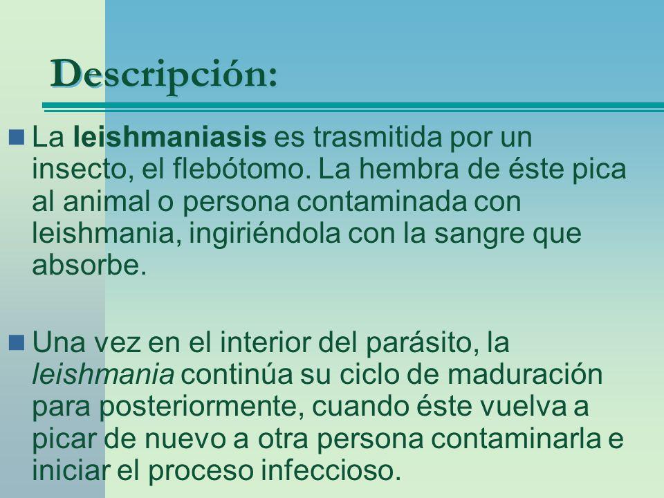 Descripción: La leishmaniasis es trasmitida por un insecto, el flebótomo. La hembra de éste pica al animal o persona contaminada con leishmania, ingir