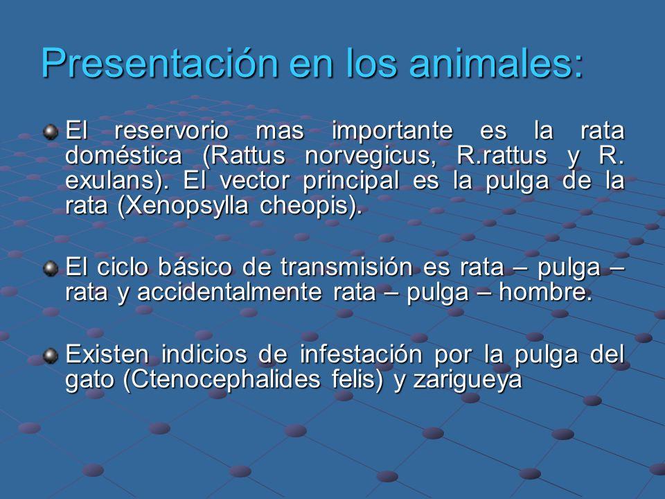 Presentación en los animales: El reservorio mas importante es la rata doméstica (Rattus norvegicus, R.rattus y R. exulans). El vector principal es la