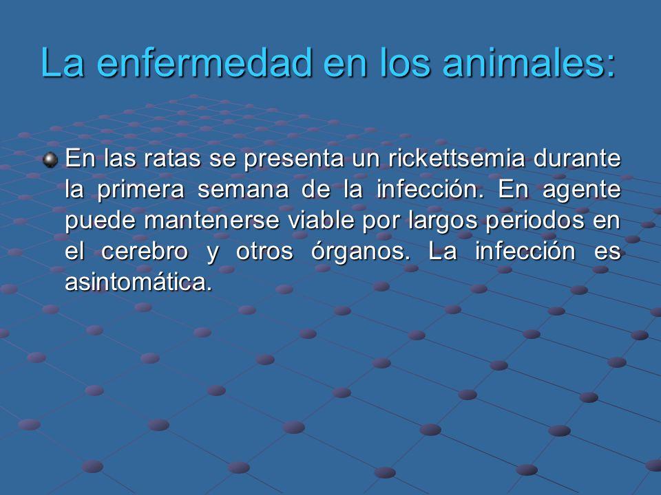 La enfermedad en los animales: En las ratas se presenta un rickettsemia durante la primera semana de la infección. En agente puede mantenerse viable p