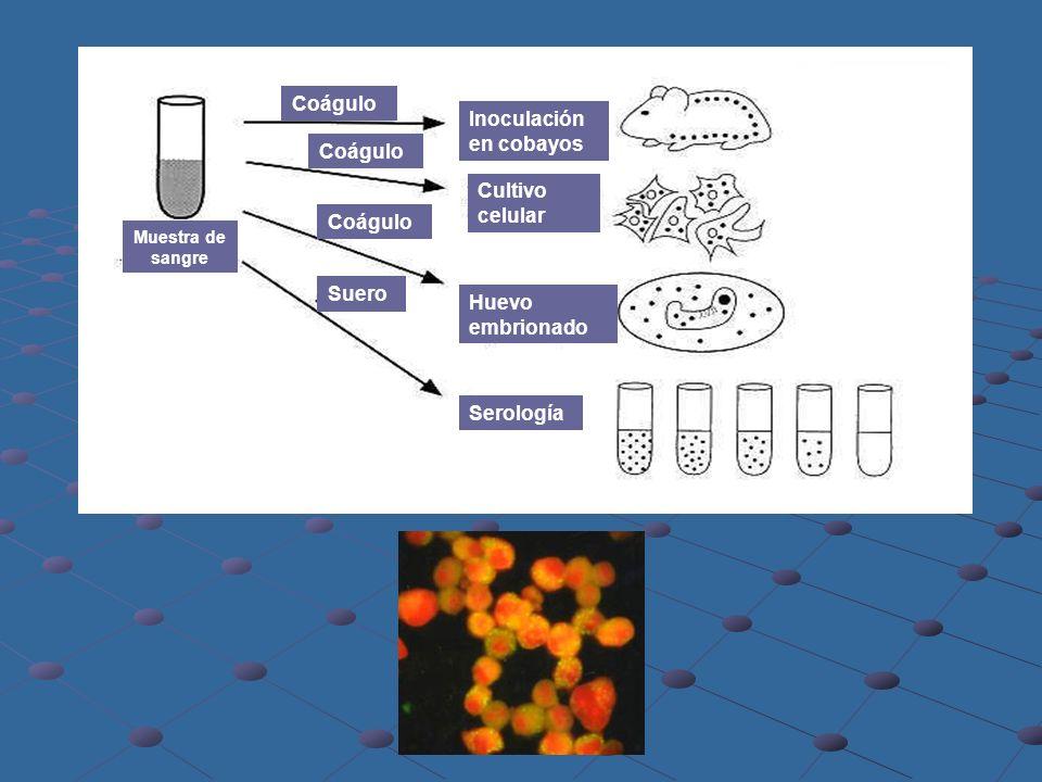 Muestra de sangre Coágulo Suero Coágulo Inoculación en cobayos Cultivo celular Huevo embrionado Serología