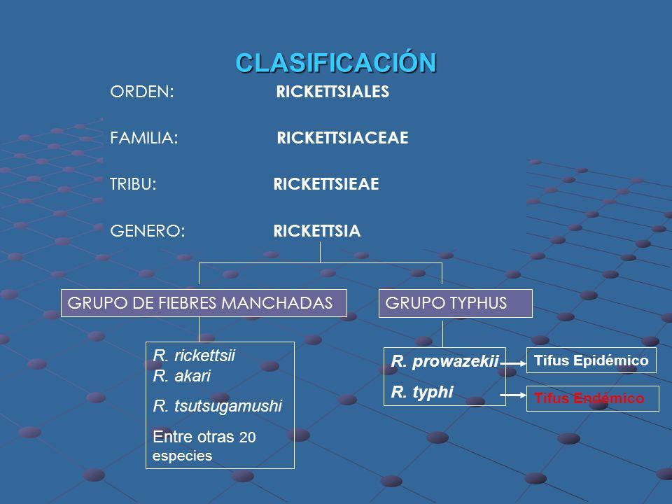ORDEN: RICKETTSIALES FAMILIA: RICKETTSIACEAE TRIBU: RICKETTSIEAE GENERO: RICKETTSIA GRUPO DE FIEBRES MANCHADAS GRUPO TYPHUS R. rickettsii R. akari R.