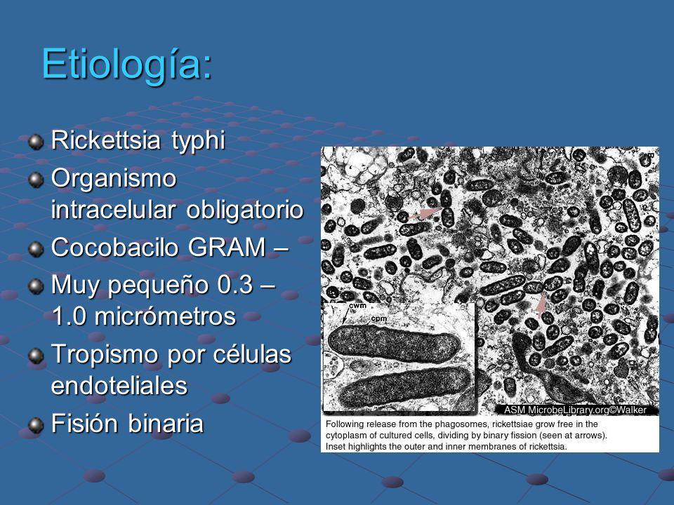 Etiología: Rickettsia typhi Organismo intracelular obligatorio Cocobacilo GRAM – Muy pequeño 0.3 – 1.0 micrómetros Tropismo por células endoteliales F
