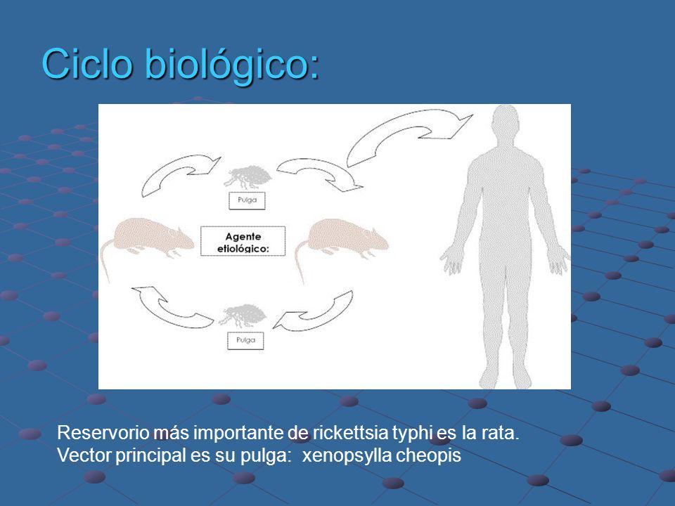 Ciclo biológico: Reservorio más importante de rickettsia typhi es la rata. Vector principal es su pulga: xenopsylla cheopis