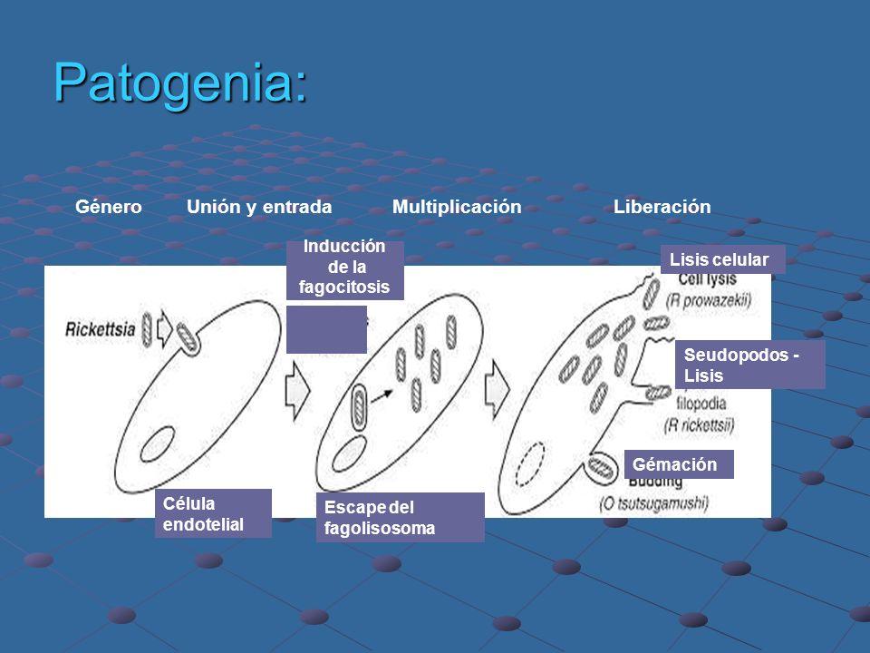 Patogenia: Género Unión y entrada Multiplicación Liberación Célula endotelial Escape del fagolisosoma Lisis celular Gémación Seudopodos - Lisis Inducc