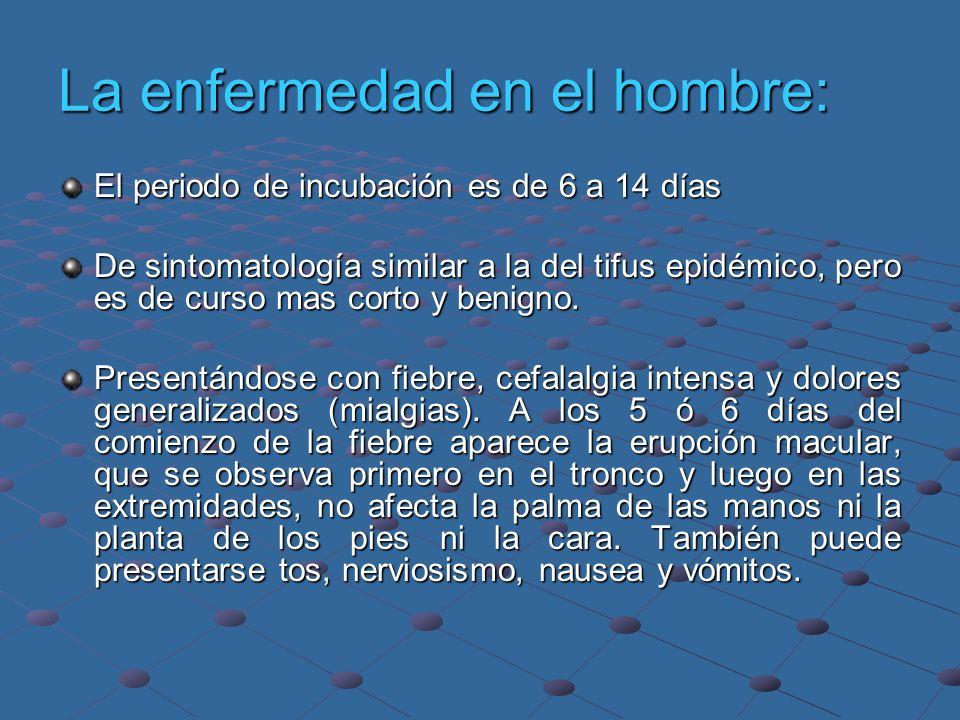 La enfermedad en el hombre: El periodo de incubación es de 6 a 14 días De sintomatología similar a la del tifus epidémico, pero es de curso mas corto