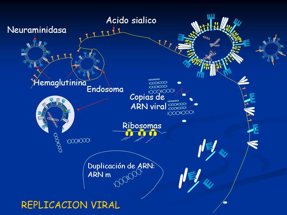 Endosoma Acido sialico Hemaglutinina Neuraminidasa Ribosomas REPLICACION VIRAL Duplicación de ARN: ARN m Copias de ARN viral