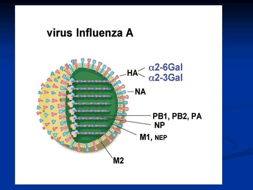 Fase II: No se ha detectado ningún subtipo nuevo del virus de la influenza en los seres humanos.