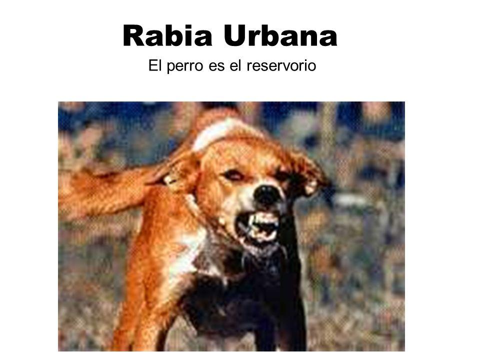 Rabia Urbana El perro es el reservorio