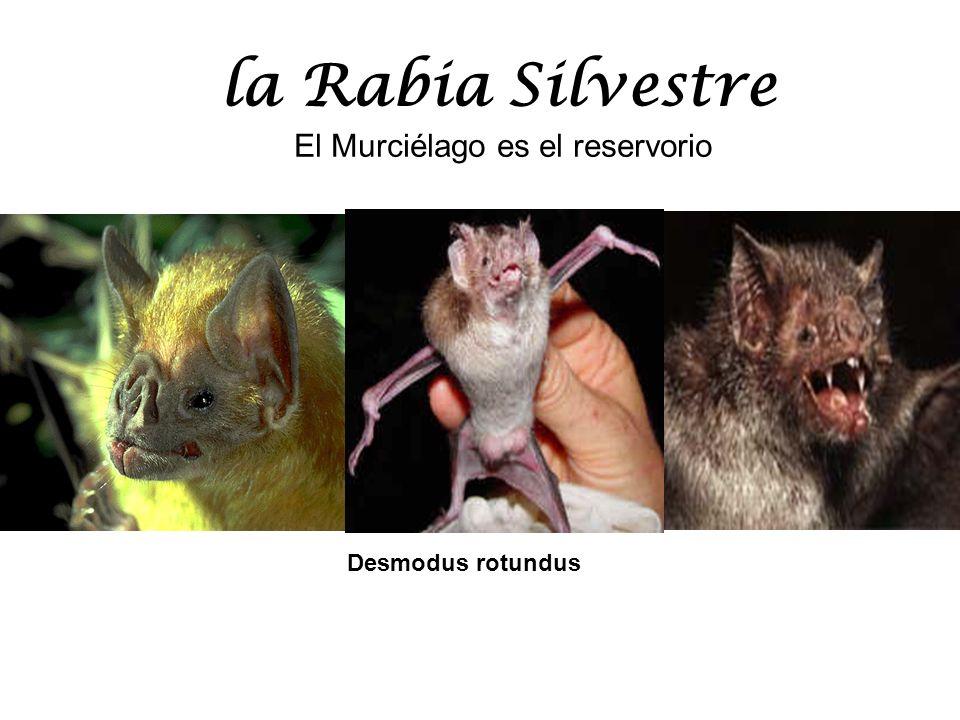 la Rabia Silvestre El Murciélago es el reservorio Desmodus rotundus
