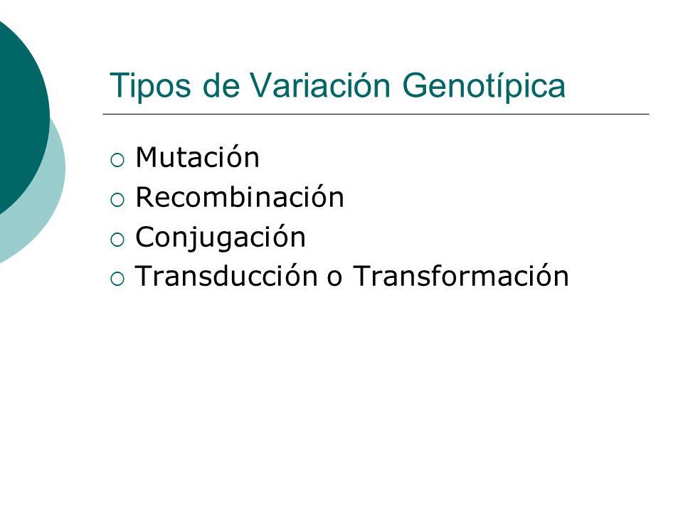 Tipos de Variación Genotípica Mutación Recombinación Conjugación Transducción o Transformación