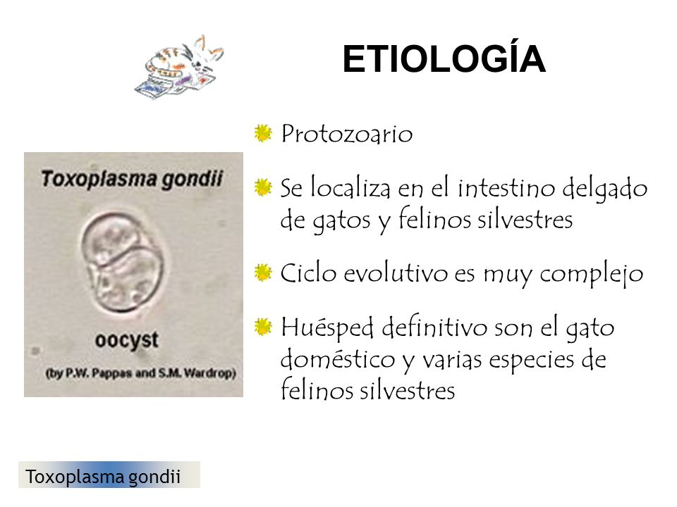 Toxoplasmosis Adquirida: se produce por el consumo de carne de vacunos, cerdos, ovinos, etc., insuficientemente cocidos, conteniendo quistes del parásito o mediante la ingestión de alimentos contaminados con heces de gatos infectados.
