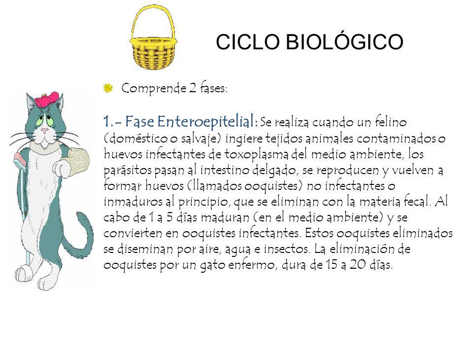 Comprende 2 fases: 1.- Fase Enteroepitelial: Se realiza cuando un felino (doméstico o salvaje) ingiere tejidos animales contaminados o huevos infectan