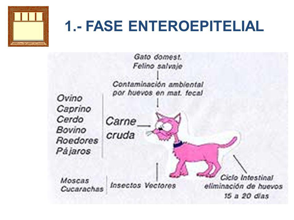1.- FASE ENTEROEPITELIAL