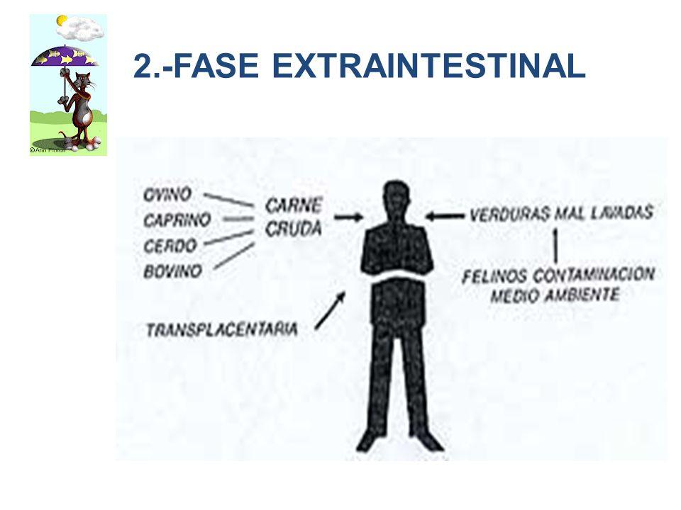 2.-FASE EXTRAINTESTINAL