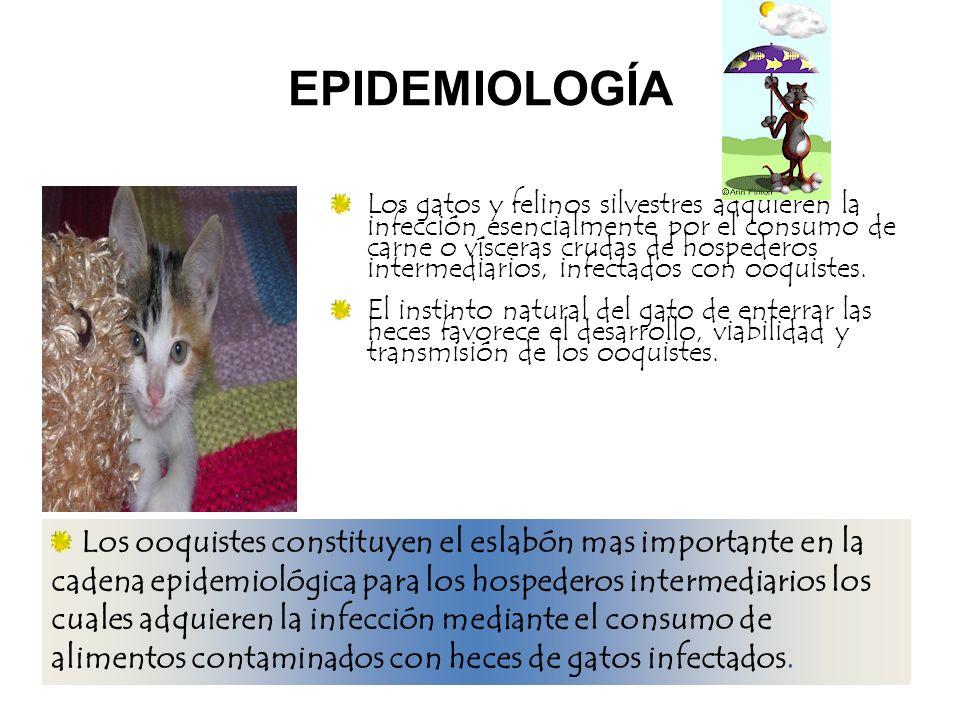 EPIDEMIOLOGÍA Los gatos y felinos silvestres adquieren la infección esencialmente por el consumo de carne o vísceras crudas de hospederos intermediari