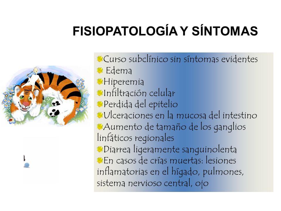 FISIOPATOLOGÍA Y SÍNTOMAS Curso subclínico sin síntomas evidentes Edema Hiperemia Infiltración celular Perdida del epitelio Ulceraciones en la mucosa