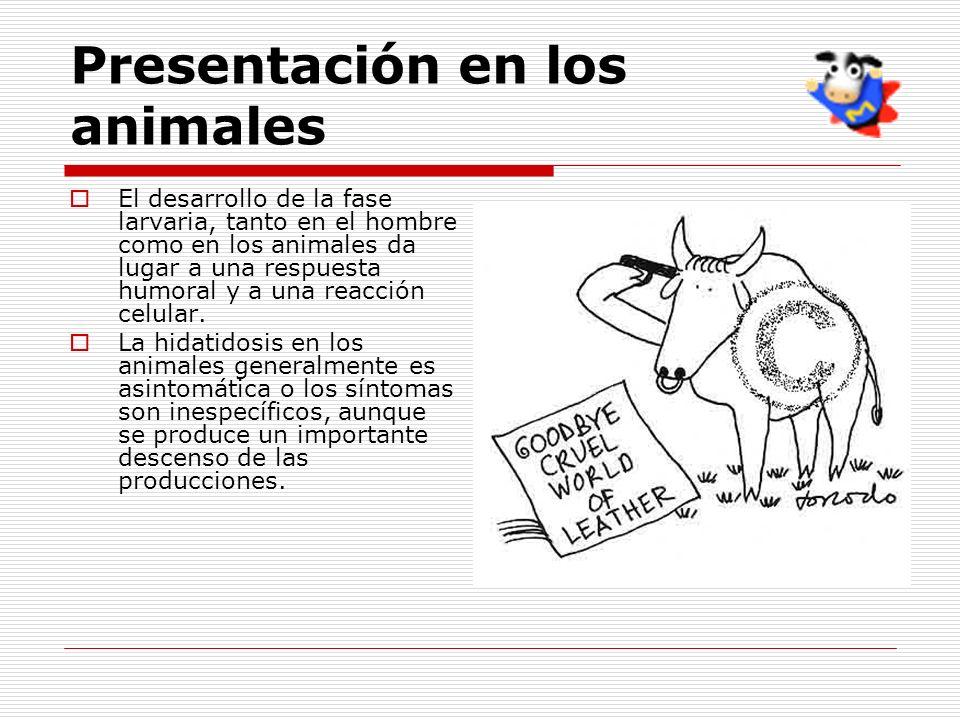 Presentación en los animales El desarrollo de la fase larvaria, tanto en el hombre como en los animales da lugar a una respuesta humoral y a una reacc