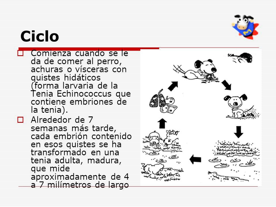 Ciclo Comienza cuando se le da de comer al perro, achuras o vísceras con quistes hidáticos (forma larvaria de la Tenia Echinococcus que contiene embri