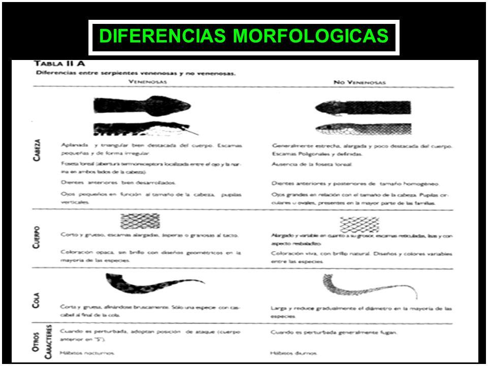 DIFERENCIAS MORFOLOGICAS