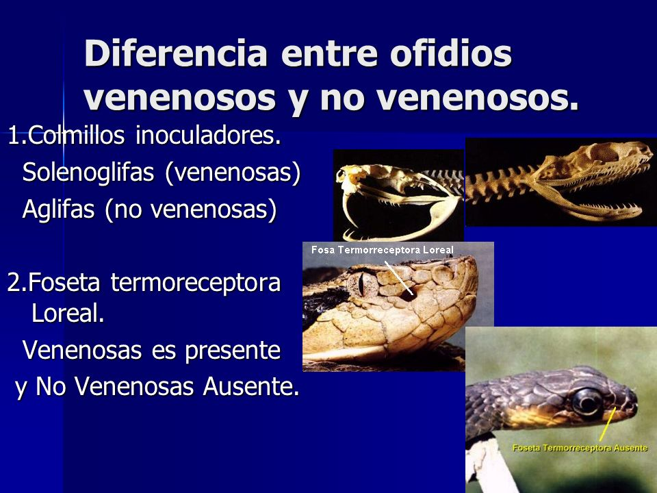 Diferencia entre ofidios venenosos y no venenosos. 1.Colmillos inoculadores. Solenoglifas (venenosas) Solenoglifas (venenosas) Aglifas (no venenosas)