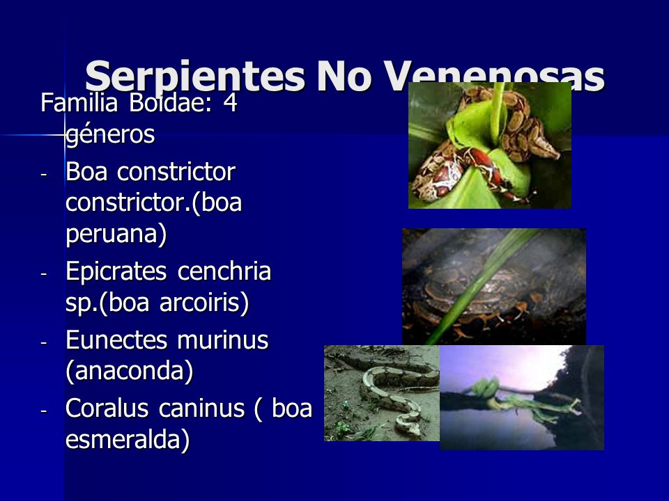 Serpientes No Venenosas Familia Boidae: 4 géneros - Boa constrictor constrictor.(boa peruana) - Epicrates cenchria sp.(boa arcoiris) - Eunectes murinu