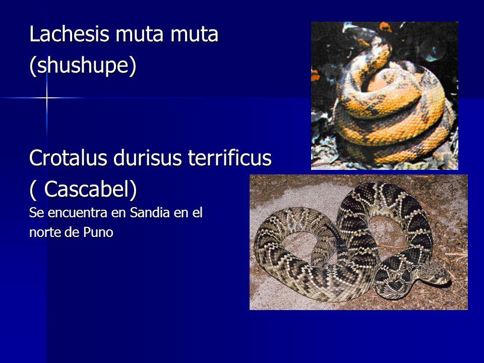 Lachesis muta muta (shushupe) Crotalus durisus terrificus ( Cascabel) Se encuentra en Sandia en el norte de Puno