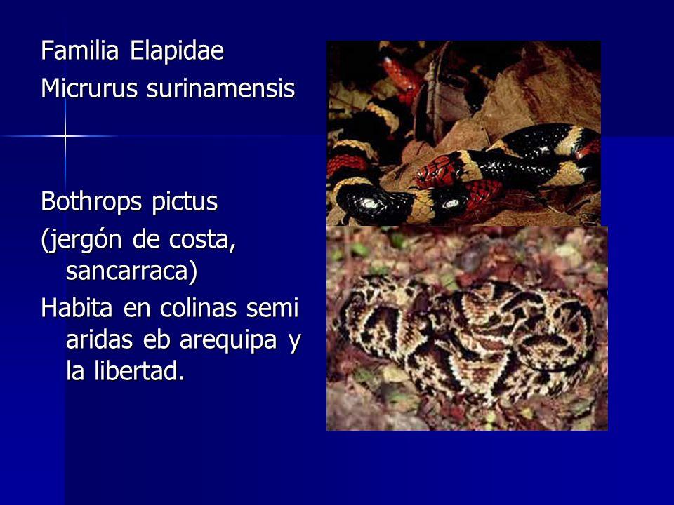 Familia Elapidae Micrurus surinamensis Bothrops pictus (jergón de costa, sancarraca) Habita en colinas semi aridas eb arequipa y la libertad.