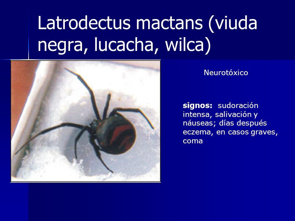 Latrodectus mactans (viuda negra, lucacha, wilca) Neurotóxico signos: sudoración intensa, salivación y náuseas; días después eczema, en casos graves,
