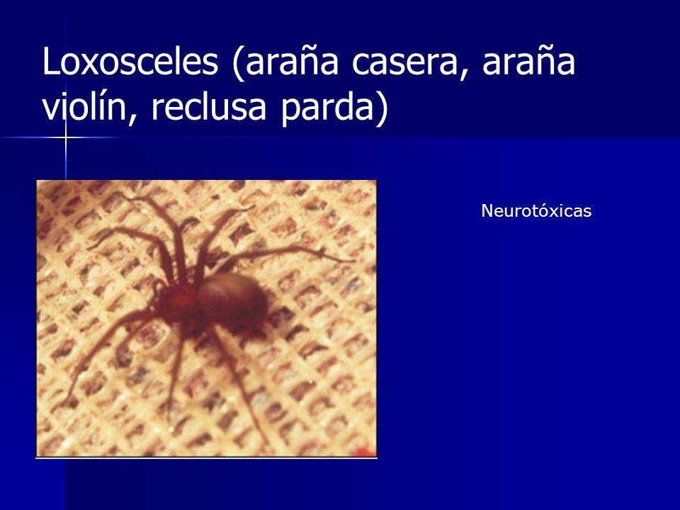 Loxosceles (araña casera, araña violín, reclusa parda) Neurotóxicas