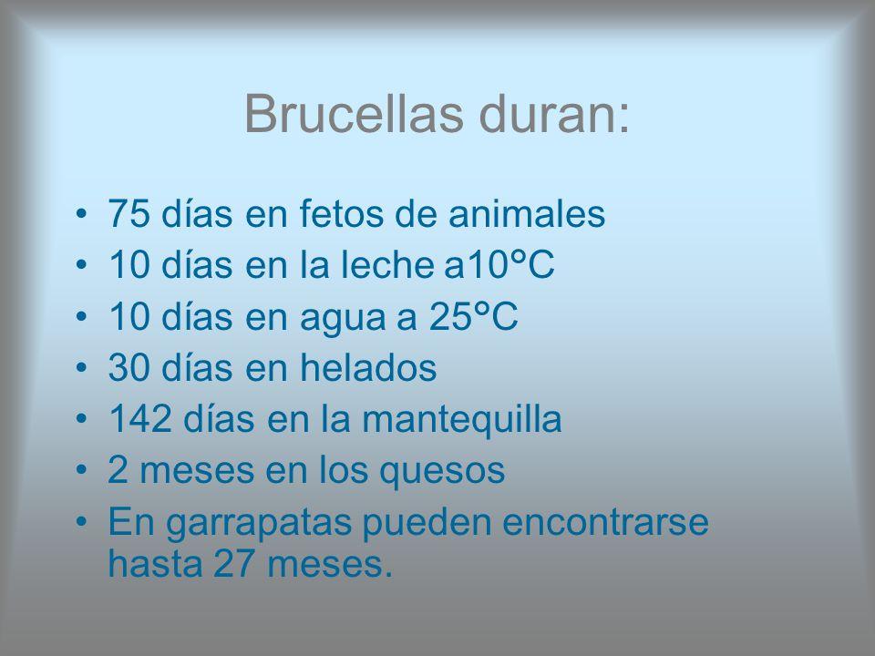 Brucellas duran: 75 días en fetos de animales 10 días en la leche a10°C 10 días en agua a 25°C 30 días en helados 142 días en la mantequilla 2 meses e
