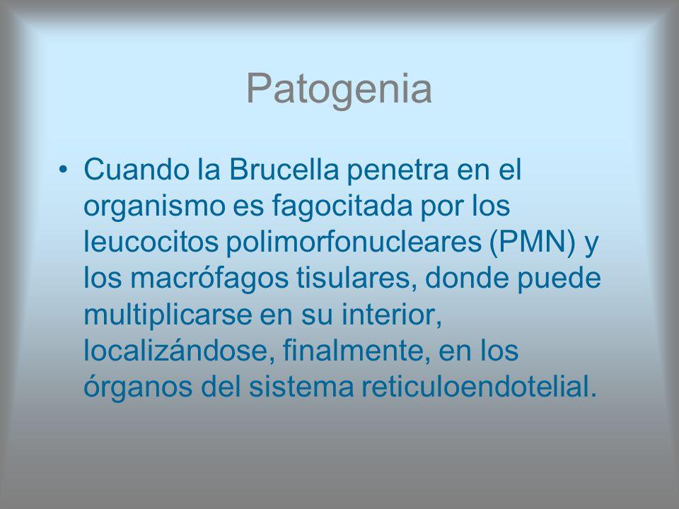 Patogenia Cuando la Brucella penetra en el organismo es fagocitada por los leucocitos polimorfonucleares (PMN) y los macrófagos tisulares, donde puede