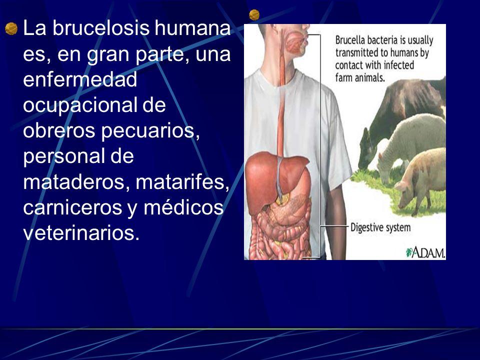 La brucelosis humana es, en gran parte, una enfermedad ocupacional de obreros pecuarios, personal de mataderos, matarifes, carniceros y médicos veteri