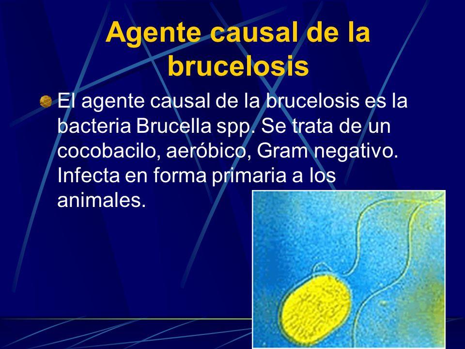 Agente causal de la brucelosis El agente causal de la brucelosis es la bacteria Brucella spp. Se trata de un cocobacilo, aeróbico, Gram negativo. Infe