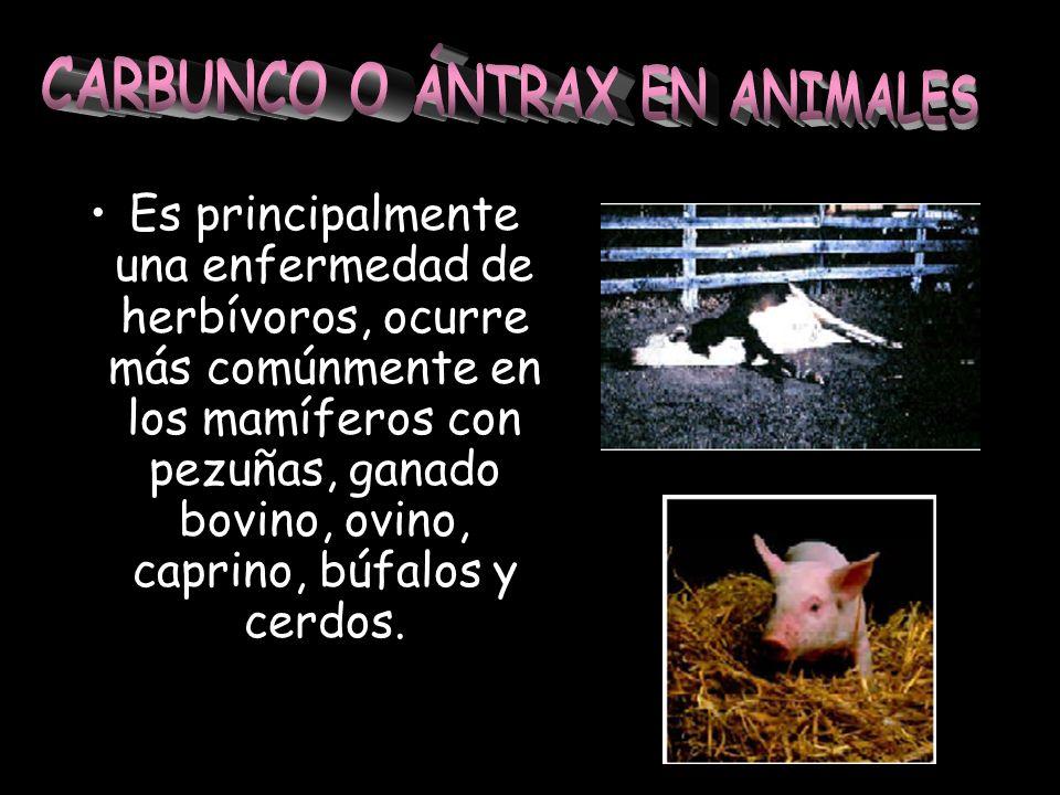 Es principalmente una enfermedad de herbívoros, ocurre más comúnmente en los mamíferos con pezuñas, ganado bovino, ovino, caprino, búfalos y cerdos.