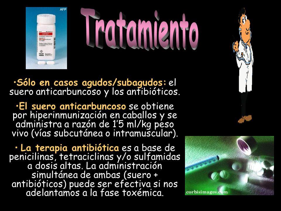 Sólo en casos agudos/subagudos: el suero anticarbuncoso y los antibióticos. El suero anticarbuncoso se obtiene por hiperinmunización en caballos y se