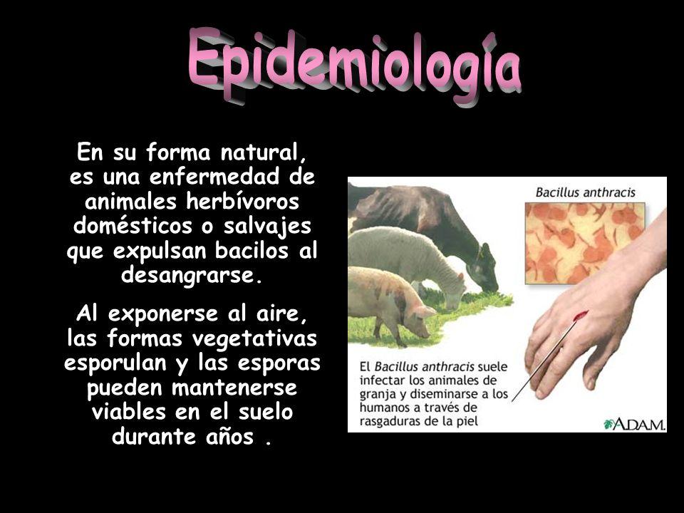 En su forma natural, es una enfermedad de animales herbívoros domésticos o salvajes que expulsan bacilos al desangrarse. Al exponerse al aire, las for