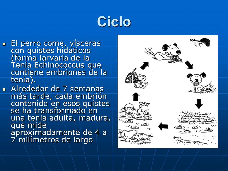 Ciclo El perro come, vísceras con quistes hidáticos (forma larvaria de la Tenia Echinococcus que contiene embriones de la tenia). El perro come, vísce