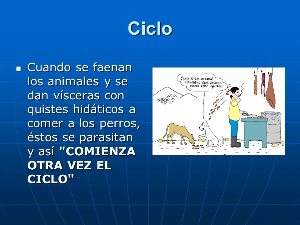 Cuando se faenan los animales y se dan vísceras con quistes hidáticos a comer a los perros, éstos se parasitan y así