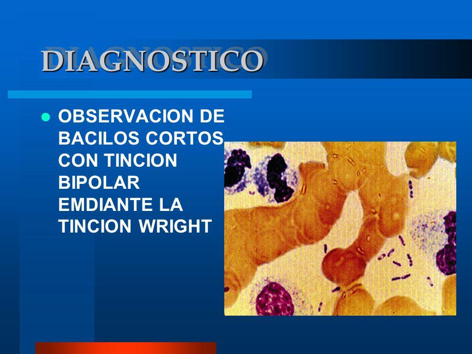 DIAGNOSTICODIAGNOSTICO OBSERVACION DE BACILOS CORTOS CON TINCION BIPOLAR EMDIANTE LA TINCION WRIGHT