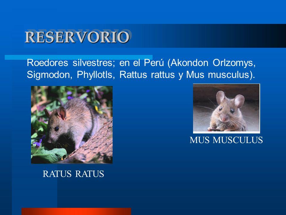 RESERVORIORESERVORIO Roedores silvestres; en el Perú (Akondon Orlzomys, Sigmodon, Phyllotls, Rattus rattus y Mus musculus). RATUS MUS MUSCULUS