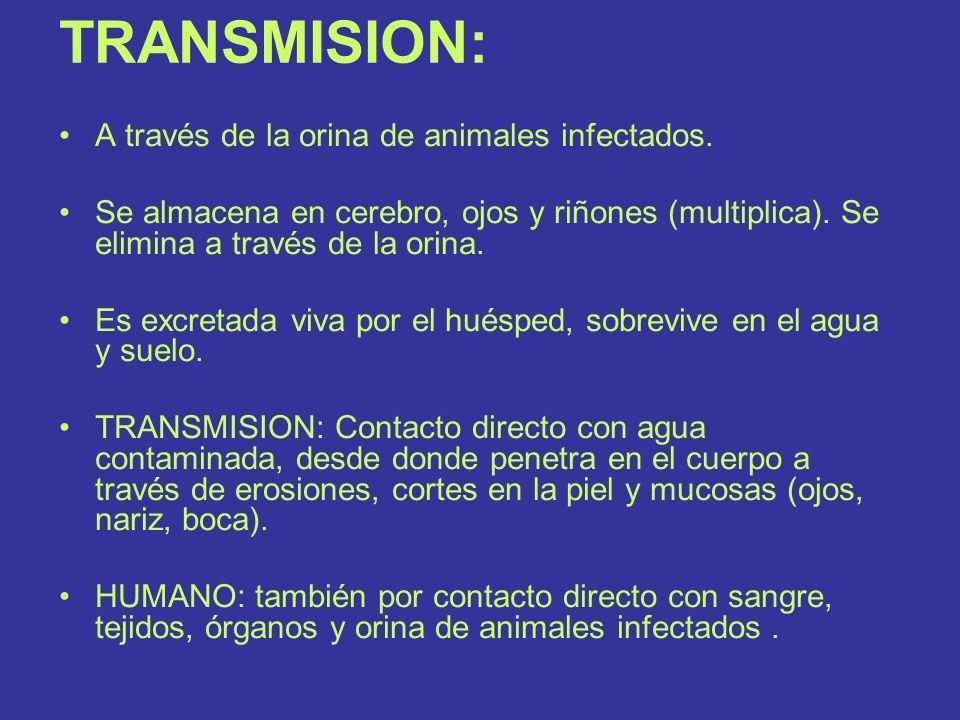 TRANSMISION: A través de la orina de animales infectados. Se almacena en cerebro, ojos y riñones (multiplica). Se elimina a través de la orina. Es exc