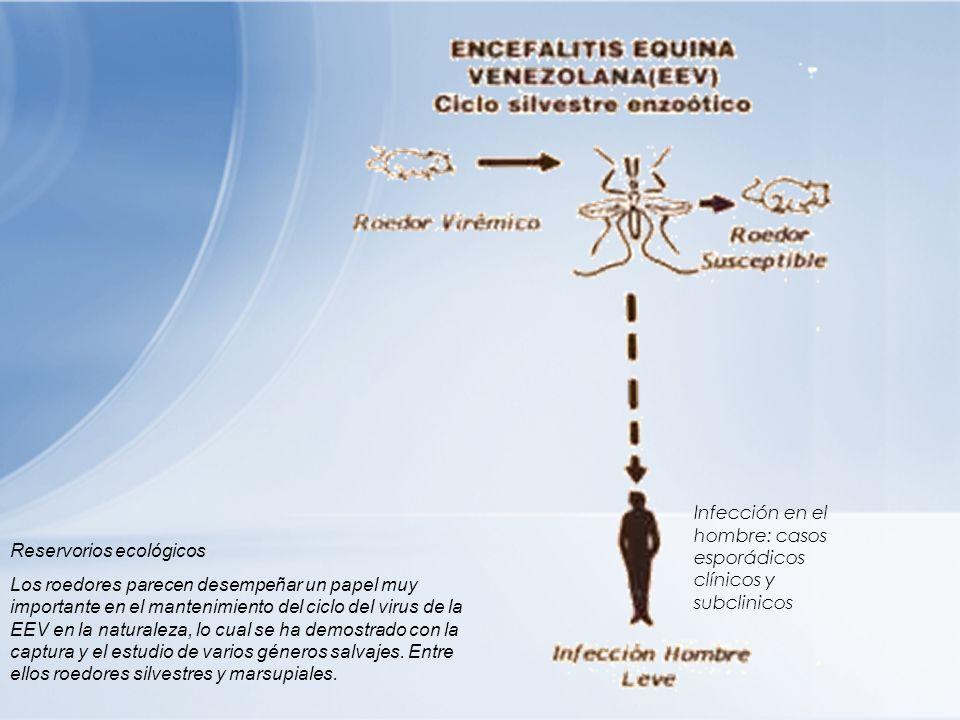 Reservorios ecológicos Los roedores parecen desempeñar un papel muy importante en el mantenimiento del ciclo del virus de la EEV en la naturaleza, lo
