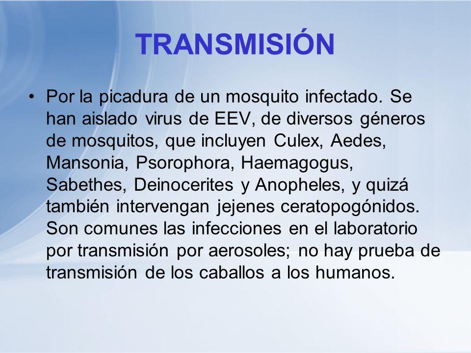 TRANSMISIÓN Por la picadura de un mosquito infectado. Se han aislado virus de EEV, de diversos géneros de mosquitos, que incluyen Culex, Aedes, Manson