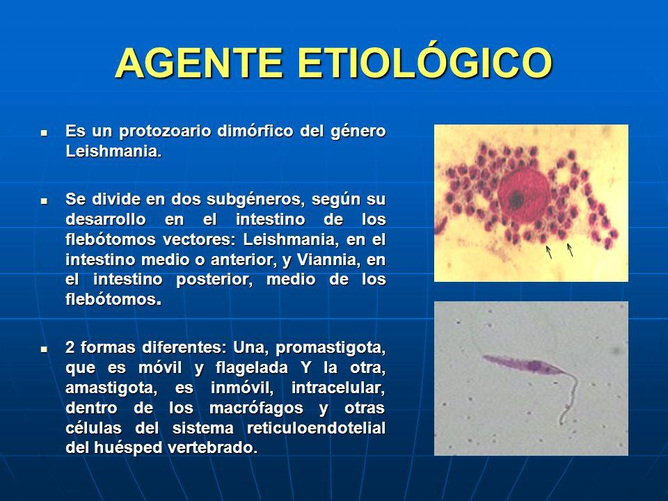 AGENTE ETIOLÓGICO Es un protozoario dimórfico del género Leishmania. Es un protozoario dimórfico del género Leishmania. Se divide en dos subgéneros, s